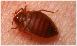 Common Species Of Bed Bugs Greatonlinetrivia